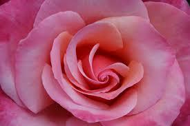 budding rose 2