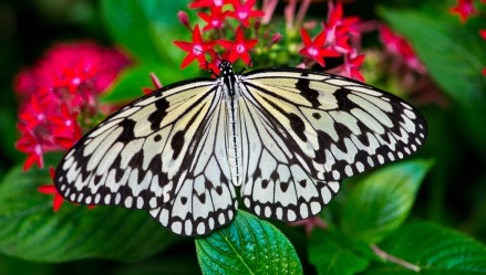 majestic-butterfly-2